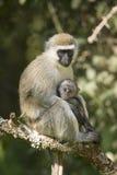 Weiblicher Vervit-Affe und ihr Baby, die im Baum außerhalb der Erhaltung Lewa-wild lebender Tiere, Nord-Kenia, Afrika sitzt Stockbilder