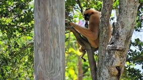 Weiblicher weiß--cheeked Gibbon-Affe Lizenzfreie Stockfotos