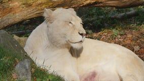 Weiblicher weißer Löwe stock video