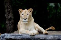 Weiblicher weißer Löwe Stockfotos