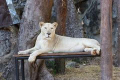 Weiblicher weißer Löwe im Zoo Lizenzfreie Stockfotografie