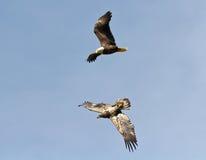 Weiblicher Weißkopfseeadler, der einen Jugendlichen jagt Stockbilder