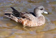 Weiblicher Wigeon Duck Hen Lizenzfreies Stockfoto