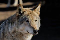 Weiblicher Wolf Lizenzfreies Stockfoto