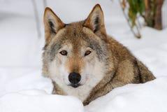 Weiblicher Wolf auf dem Schnee Stockfotografie