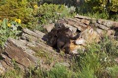 Weiblicher Wolf Canislupus und -welpen Stockbilder