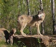 Weiblicher Wolf mit Welpen Lizenzfreie Stockfotos