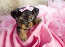Weiblicher Yorkshire-Terrier-Welpe Stockfotografie