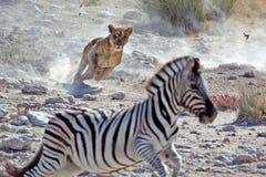 Weiblicher Zebra Jagd des Löwes Lizenzfreies Stockfoto