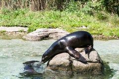 Weibliches Aalen des Kalifornischen Seelöwen auf einem Felsen Lizenzfreies Stockbild