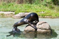 Weibliches Aalen des Kalifornischen Seelöwen auf einem Felsen Stockbild