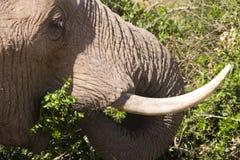 Weibliches afrikanischer Elefant-Essen Stockbilder