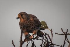 Weibliches allgemeines Turmfalke-Falco-tinnunculus mit Opfer stockfotografie