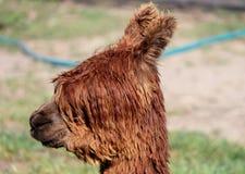 Weibliches Alpaka lizenzfreies stockbild