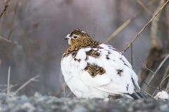 Weibliches Alpenschneehuhn Stockfotografie