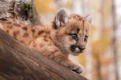 Weibliches Anstarren des Puma-Kätzchen-(Puma concolor) vom Baum Lizenzfreie Stockfotos