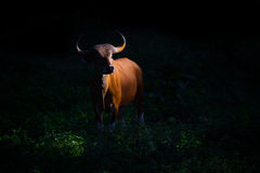 Weibliches Banteng (Bos javanicus Lizenzfreie Stockbilder