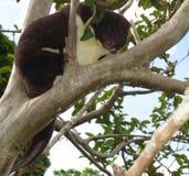 Weibliches Berg-cuscus Stockfoto