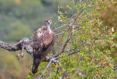 Weibliches bonelli& x27; s-Adler gehockt auf einer Niederlassung Stockbilder
