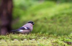 Weibliches Bullfinch auf Moos Stockfoto