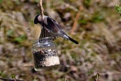 Weibliches Bullfinchessen Lizenzfreies Stockfoto