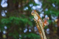 Weibliches Eichhörnchen gehockt auf Niederlassung Lizenzfreies Stockfoto