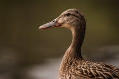 Weibliches Entenporträt auf unscharfem Hintergrund stockfoto