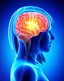 Weibliches Gehirn im blauen Röntgenstrahl lizenzfreie abbildung