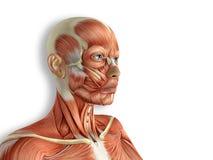 Weibliches Gesicht mischt Anatomie mit Stockfoto