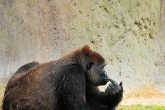 Weibliches Gorilla-Denken Stockbilder