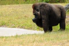 Weibliches Gorilla-Trinken Stockbild