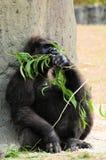 Weibliches Gorillaessen Lizenzfreie Stockfotografie