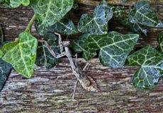 Weibliches Gottesanbeterin-Insekt Lizenzfreie Stockfotos