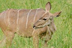 Weibliches größeres Kudu stockbilder