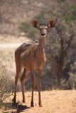 Weibliches größeres Kudu Stockbild