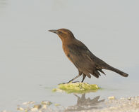 Weibliches Grackle Lizenzfreies Stockfoto