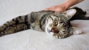 Weibliches Handstreichen der netten Schlafenkatze auf Sofa Hauskatze der getigerten Katze stock video footage