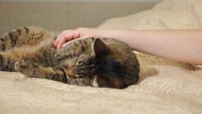 Weibliches Handstreichen ihr reizend eine nette Katze, die auf dem Bett liegt stock footage