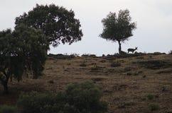 Weibliches iberisches Rotwild stockfotografie