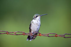 Weibliches Kolibri-Sitzen Lizenzfreie Stockfotografie