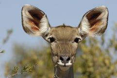 Weibliches Kudu Stockbild