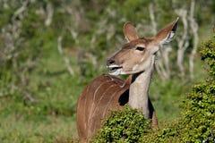 Weibliches Kudu Stockbilder