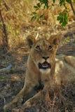 Weibliches Löwejunges, das oben anstarrt Lizenzfreie Stockfotos