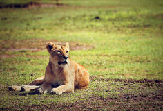 Weibliches Löwelügen. Ngorongoro, Tanzania Lizenzfreies Stockbild