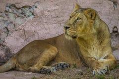 Weibliches Lügen des afrikanischen Löwes unter Felsen Lizenzfreie Stockbilder