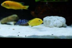 Weibliches Labidochromis-caeruleus Gelb lizenzfreie stockfotos