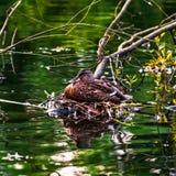 Weibliches Legen der Stockente auf ihr Nest durch den Flussstrom Lizenzfreie Stockbilder