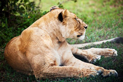 Weibliches Löwelügen. Serengeti, Tanzania Lizenzfreies Stockbild