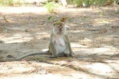 Weibliches Macaquefallhammersitzen einsam im Gras Stockbild