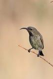 Weibliches Marico Sunbird Stockfoto